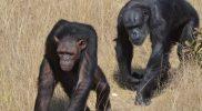 szympansy1