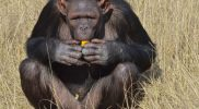 szympansy2
