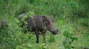 Lubiany Pumba czyli guziec